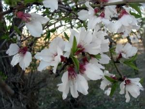 5_almendro en flor